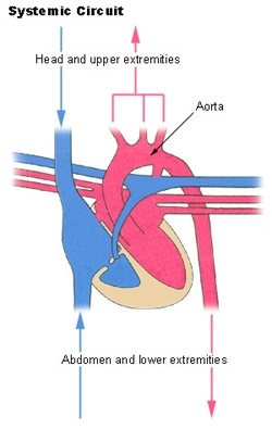 Circulatory System of the Heart