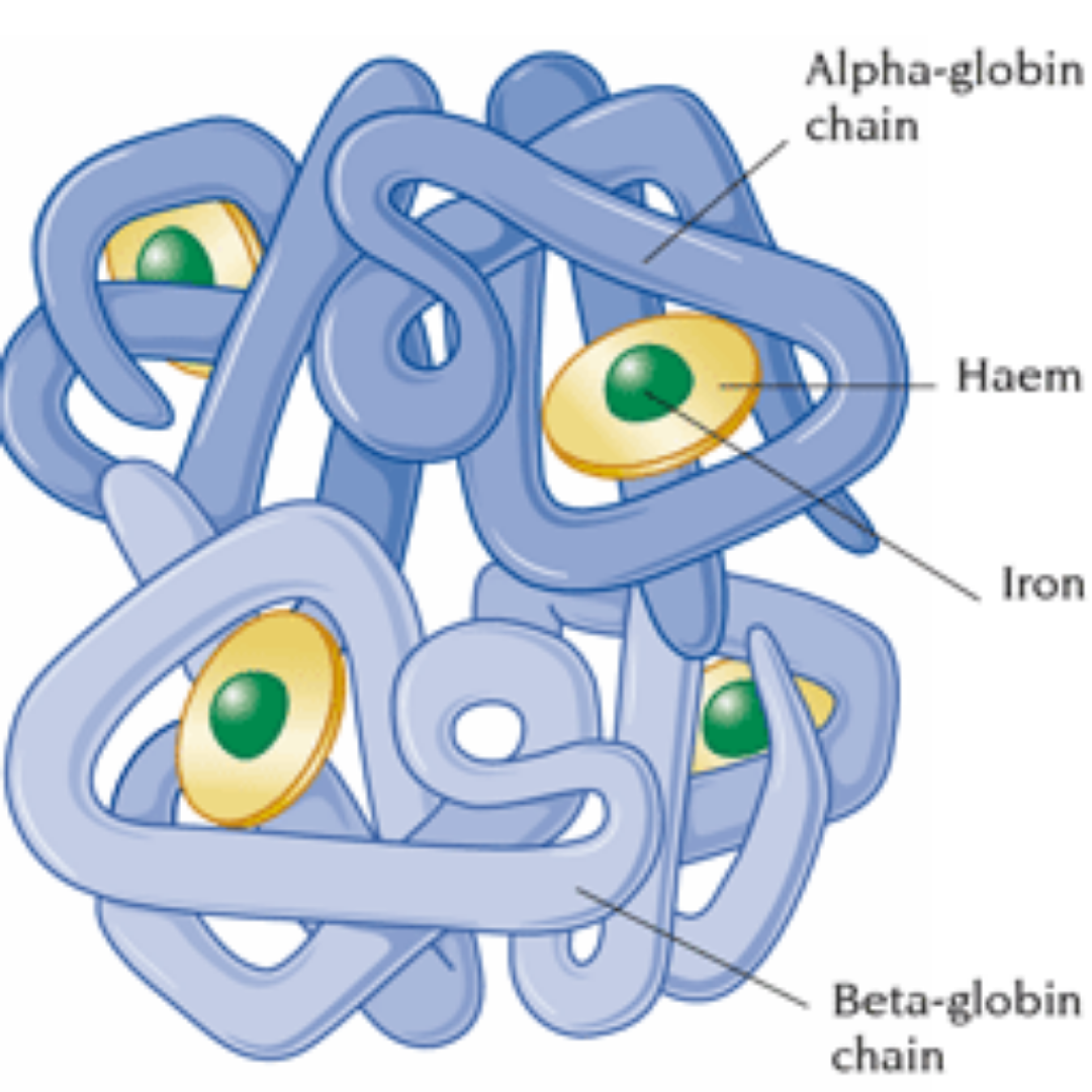 What is Haemoglobin and It's structure